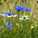 Cornfield Flower Project Open Day